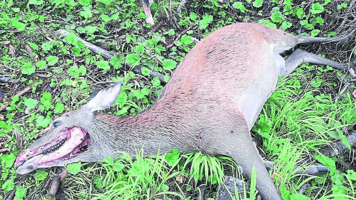 Gegen das Gesetz, gegen die Moral: Jäger tötet Muttertier - aus Versehen?